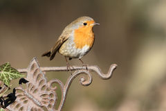 Robin, Erithacus rubecula Royalty Free Stock Photography