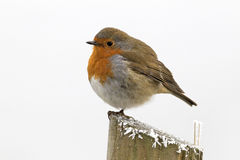 Robin, Erithacus rubecula. Single bird in frost, Midlands, December 2010 Royalty Free Stock Photos