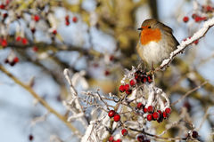 Robin, Erithacus rubecula. Single bird on frosty berries, Midlands, December 2010 Stock Photography