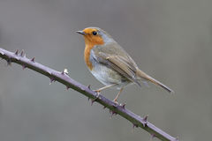 Robin, Erithacus rubecula. Single bird on perch, Warwickshire, January 2015 Royalty Free Stock Photos