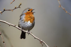 Robin, Erithacus rubecula Royalty Free Stock Photo