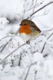 Robin, Erithacus rubecula. Single bird in snow, West Midlands, December 2010 Stock Photo