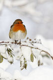 Robin, Erithacus rubecula. Single bird in snow, West Midlands, December 2010 Stock Photography