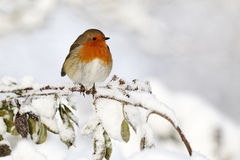 Robin, Erithacus rubecula. Single bird in snow, West Midlands, December 2010 Royalty Free Stock Photography