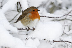 Robin, Erithacus rubecula. Single bird in snow, West Midlands, December 2010 Stock Images