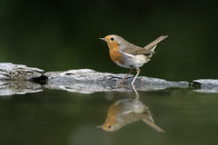 Robin, Erithacus rubecula Stock Images