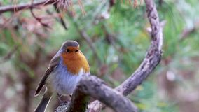 Robin, Erithacus rubecula, song bird, perched on branch just before flying away. Robin, Erithacus rubecula, song bird, perched on branch just before flying away stock video