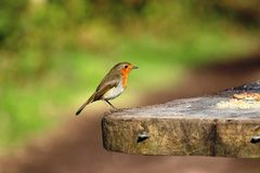 Robin erithacus rubecula, on table Sherwood forest Royalty Free Stock Photography