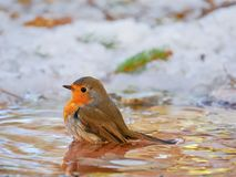 Robin Erithacus rubecula taking a bath in winter Stock Images