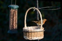 Robin, erithacus rubecula, on a wicker basket on a bird feeder Royalty Free Stock Image
