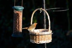 Robin, erithacus rubecula, on a wicker basket on a bird feeder Royalty Free Stock Photo