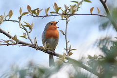 Robin (Erithacus rubecula).Wild bird in a natural habitat. Stock Images