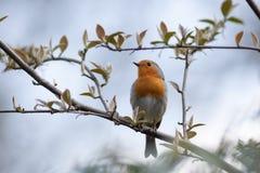 Robin (Erithacus rubecula).Wild bird in a natural habitat. Royalty Free Stock Photo