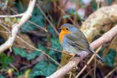 Robin, Erithacus-rubekula Royalty-vrije Stock Foto