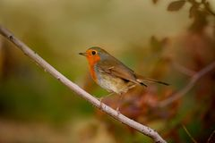 Robin, Erithacus rumen is sitting on a branch in nature. Macro Photo. Great Britain symbol. Robin, Erithacus rumen is sitting on a branch in nature. Macro Photo stock image