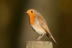 Robin - Erithacusrubecula Royaltyfri Fotografi