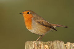 Robin - Erithacusrubecula Arkivbilder