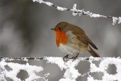 Robin - Erithacusrubecula Royaltyfri Bild