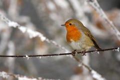 Robin - Erithacusrubecula Royaltyfria Bilder