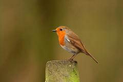 Robin - Erithacusrubecula Arkivfoton