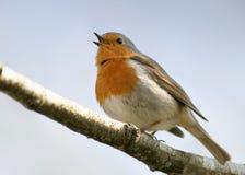 Robin (erithacusrubecula) Stock Fotografie