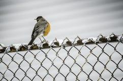 Pendant le Chute de neige-Robin sur la barrière Photos libres de droits