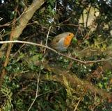 Robin européen Image stock