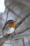 Robin européen (rubecula d'Erithacus) Images libres de droits