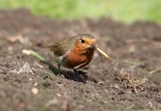 Robin europ?en images stock