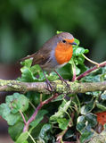 Robin. The European robin, known simply as the robin or robin redbreast in the British Isles, is a small insectivorous passerine bird, specifically a chat. UK Stock Photos