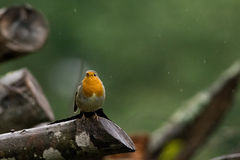 Robin. European Robin standing on a branch in rain, green background Royalty Free Stock Images