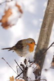 Robin européen (rubecula d'Erithacus) Photo libre de droits