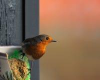 Robin europeo ed alimentatore Fotografie Stock Libere da Diritti