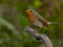 Robin europeo (rubecula del Erithacus) immagine stock