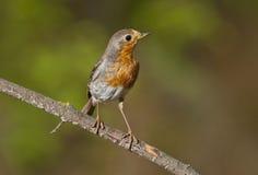 Robin europeo (rubecula del Erithacus) fotografia stock