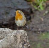 Robin europeo (rubecula del Erithacus) immagine stock libera da diritti