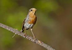 Robin europeo (rubecula del Erithacus) immagini stock libere da diritti