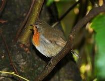 Robin fågel Arkivbild