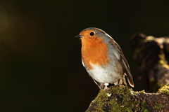 Robin fågel Royaltyfri Fotografi