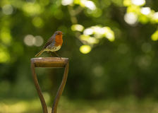 Robin fågel Royaltyfria Foton