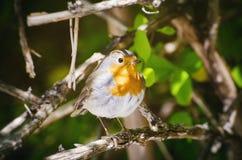 Robin fågel Royaltyfria Bilder