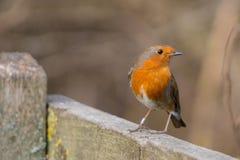 Robin fågel Erithacusrubecula Royaltyfri Foto