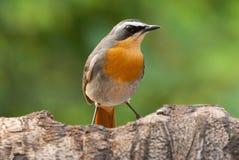 robin för fågeluddpratstund fotografering för bildbyråer