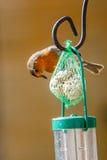 Robin-Fütterung Lizenzfreie Stockbilder