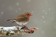 Robin in Falling Snow Stock Images