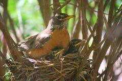 Robin-Familienporträt Lizenzfreie Stockfotografie