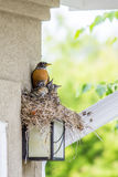 Robin Family Stockbild