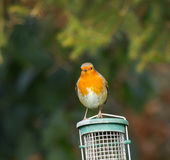 Robin on Feeder Royalty Free Stock Image