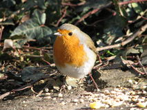 Robin Feeding Royalty Free Stock Photos