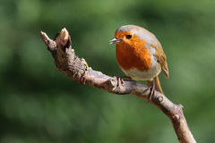 Robin feeding Royalty Free Stock Photography